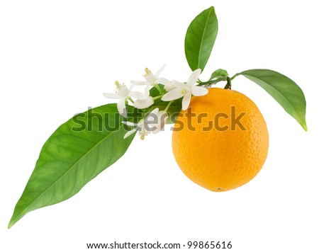 Orange on a branch with leaves and a flowers  Isolated on a white background - stock photo