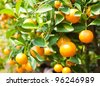 Orange on tree - stock photo