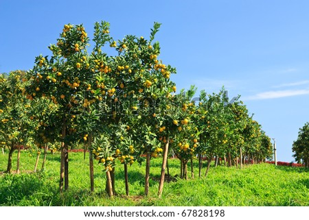 Orange orchard in northern Thailand - stock photo