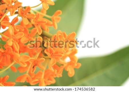Orange osmanthus - stock photo