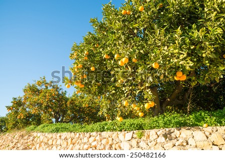 Orange plantation with trees ready to be harvested - stock photo