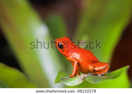 orange poison dart frog beautiful rainforest species of bocas del toro, panama kept as a pet in a terrarium ,oophaga pumilio exotic amphibian - stock photo