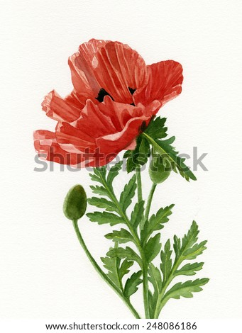 Poppy leaf stock snmky snmky pro leny zdarma a vektory orange poppy with two buds watercolor illustration of an orange poppy blossom with two buds mightylinksfo