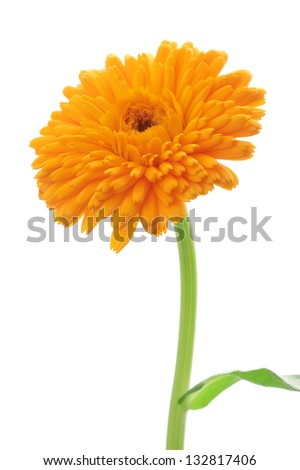 Orange pot marigold isolated on white background - stock photo