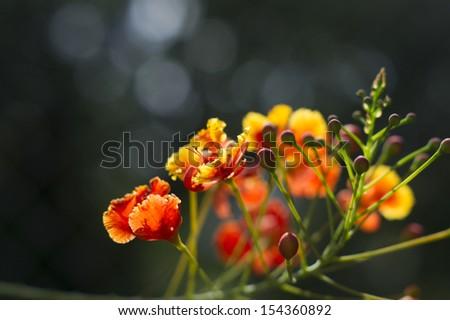 Orange pride of barbados - stock photo