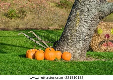 Orange Pumpkins in Autumn  Display Beside Tree  - stock photo