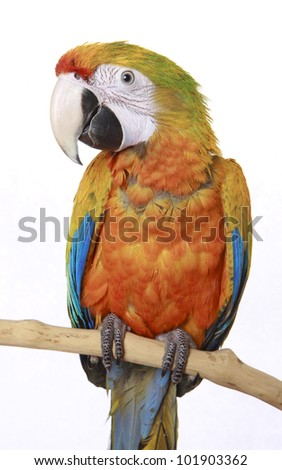 Orange, Red and Blue Macaw isolated on a white background, looking at camera - stock photo