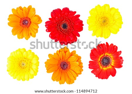Orange, red and yellow gerbera daisy covered with dew drops on isolated white background.
