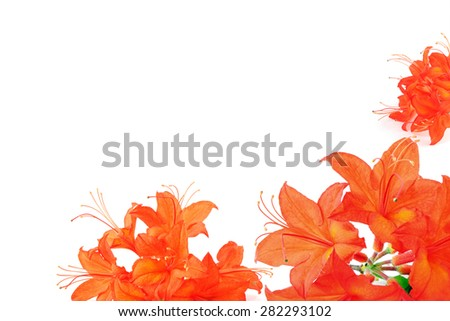 orange red azalea in frame with copy space