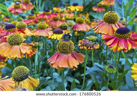 Orange-red cone flowers in a garden in England. - stock photo
