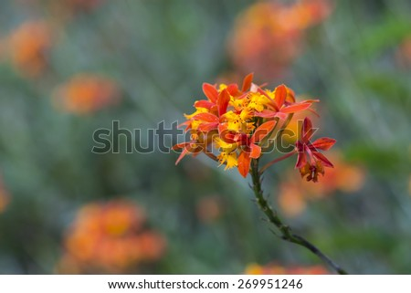 Orange Red Crucifix Orchid Flowers with Blur Natural Green and Orange Background