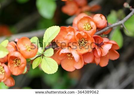 Orange-Red flowering Quince  - stock photo