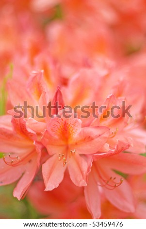 Orange red rhododendron blossom, shallow dof, focus on front blossom - stock photo