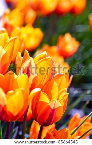 Orange-Red Tulips. Blossom Tulips. Vertical Photo. Spring Flowers Photo Collection.