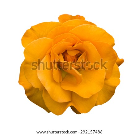 Orange rose flower macro isolated on white - stock photo