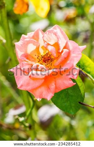Orange rose in garden, Thailand. - stock photo