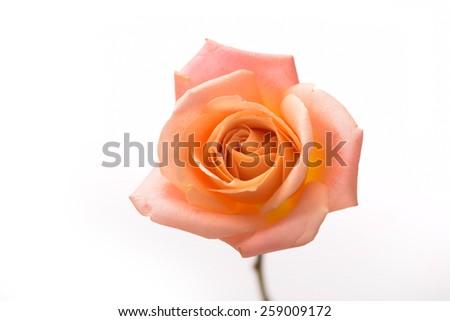Orange rose isolated - stock photo