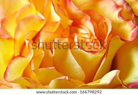 Orange Rose Macro - stock photo