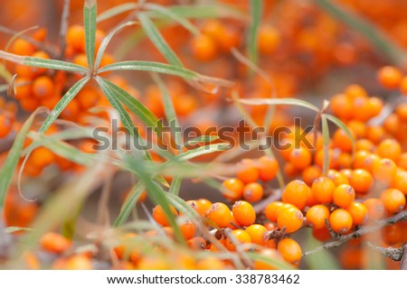 Orange sea buckthorn berries on shrub in autumn; Rich in vitamin C - stock photo