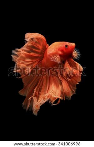 Orange siamese fighting fish isolated on black background.Ballerina betta fish - stock photo