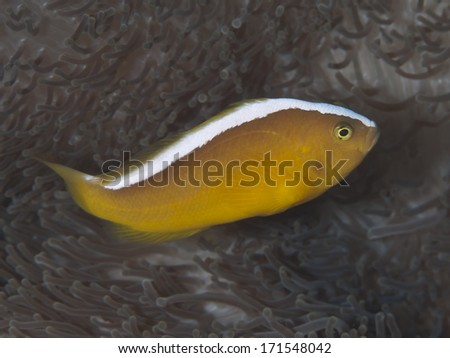 Orange skunk clownfish in Bohol sea, Phlippines Islands - stock photo