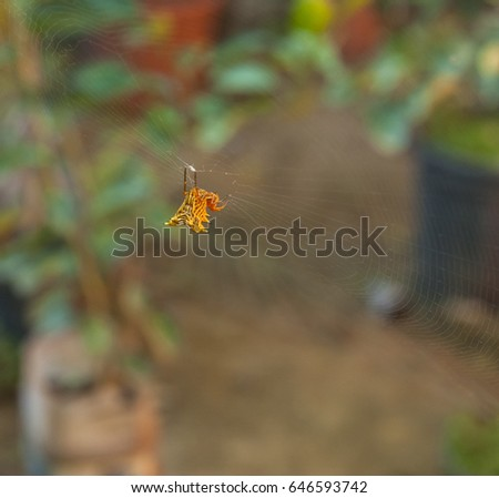 Orange spiky spider hanging from his web in the tropical rainforest