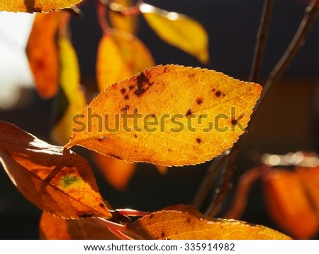 Orange spotted cherry leaf in autumn