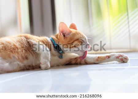 Orange strip colored Cat lick its body to clean itself and relaxing in the morning - stock photo