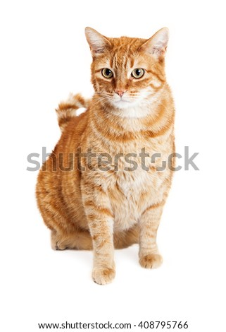 Orange striped tabby cat sitting down on a white studio background