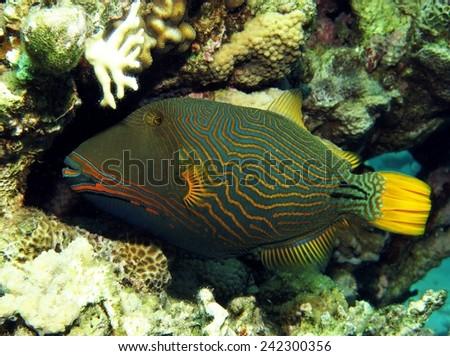 Orange-striped triggerfish (Balistapus undulatus) hiding away in a crevice - stock photo