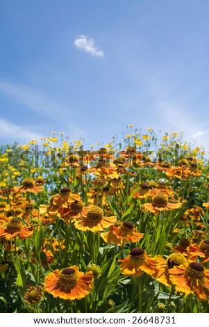 Orange summer flowers on the blue sky background - stock photo