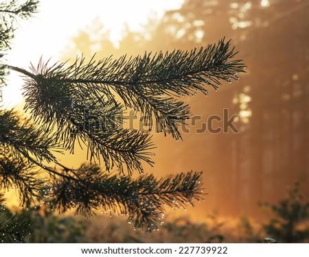 Orange sunset and fir branch - stock photo