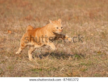 Orange tabby cat running across autumn grass field in high speed
