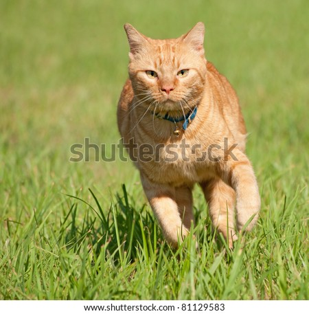 Orange tabby cat running fast towards the viewer in green grass - stock photo