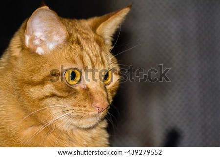 Orange tabby portrait