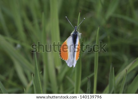 Orange Tip butterfly � Anthocharis cardamines britannica. It is one of the first species to emerge in spring that has not overwintered as an adult, and found throughout England, Wales and Ireland.  - stock photo