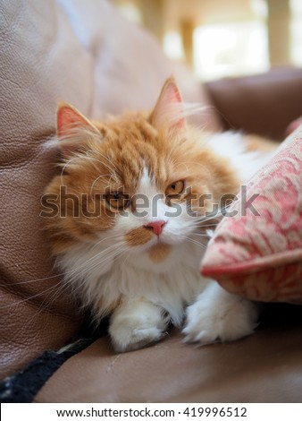 Orange Traditional Doll Face Persian Cat Laying Down Looking in Between Pillow