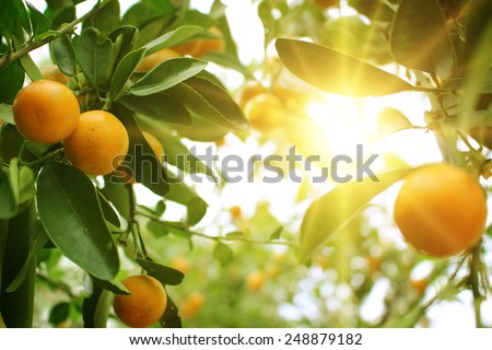 Orange tree  - stock photo