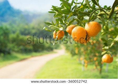 Orange tree in orange farm. - stock photo