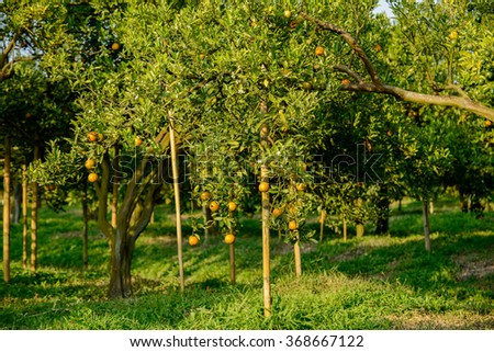 Orange tree with ripe fruits in sunlight. - stock photo