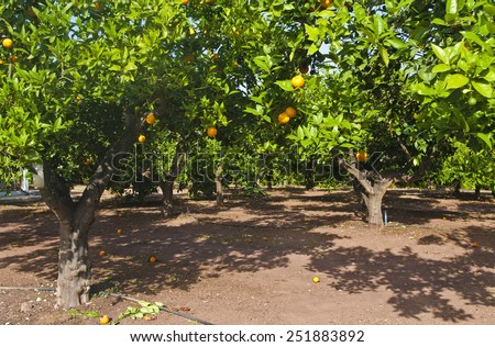 orange trees at plantation in coral ay, cyprus