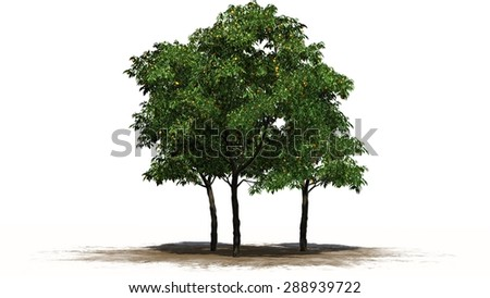 orange trees fruit - separated on white background