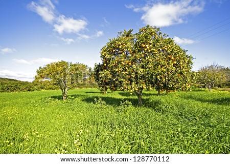 Orange trees full of oranges in springtime in Portugal - stock photo