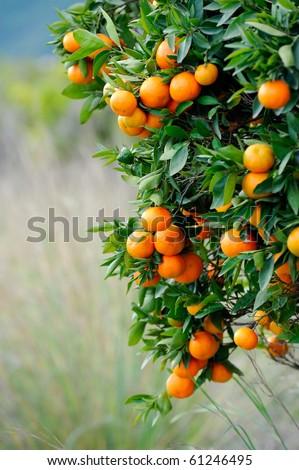 orange trees with fruits on plantation - stock photo
