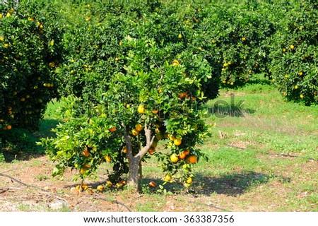 orange trees with fruits on plantation in summer - stock photo