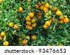 Orange trees with fruits on plantation,Thailand - stock photo