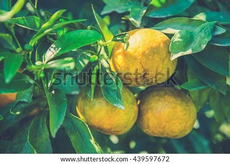 orange trees with fruits on plantation,Thailand (Vintage filter effect used) - stock photo