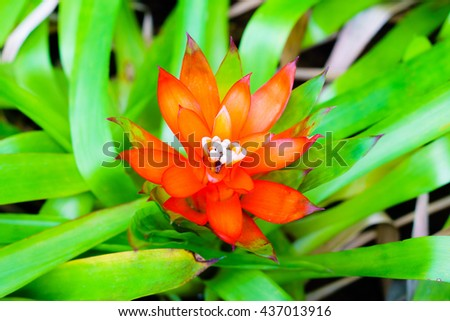 Orange Tufted airplant blooming (Guzmania sp) - Shallow DoF - Suitable for Background usage - stock photo