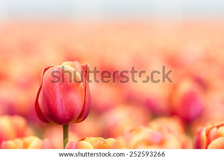 Orange tulip field with selective focus of one tulip - stock photo