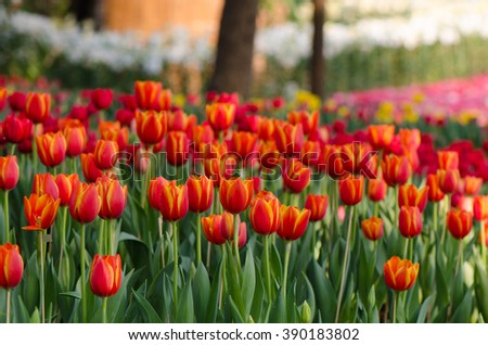 Orange tulip flowers blooming  in the garden, close up. - stock photo